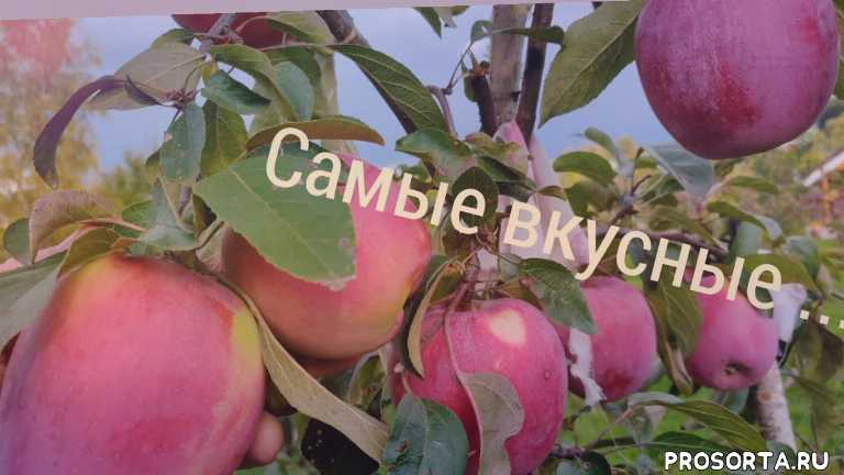 саженцы для подмосковья, зимние сорта яблони, как правильно посадить яблоню, как посадить яблоню весной, хатунский питомник, саженцы сорта ханикрисп, саженцы яблони