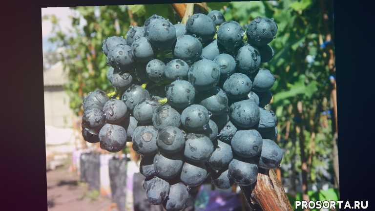 купить саженцы винограда кишмиш чёрный в контейнерах, черенки кишмиш чёрный круглый купить, саженцы винограда кишмиш чёрный, купить саженцы винограда кишмиш чёрный, виноград кишмиш кишмиш чёрный