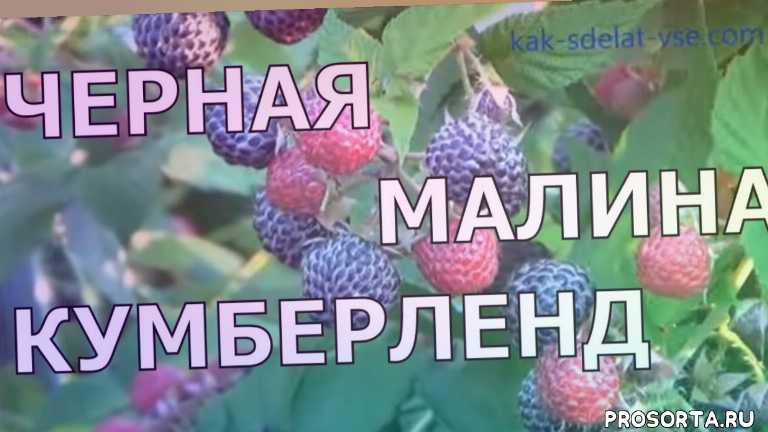 rubus, raspberry, сад своими руками, сад на даче, ягодные растения, ягодные кустарники, ягоды, сад