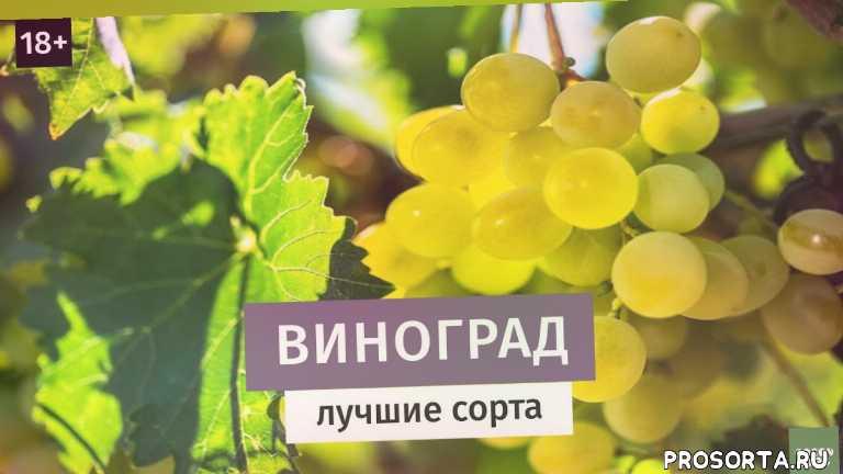саженцы винограда, посадка винограда, виноград, дубенюк антон, грин типс, greentips, green tips, как вырастить виноград