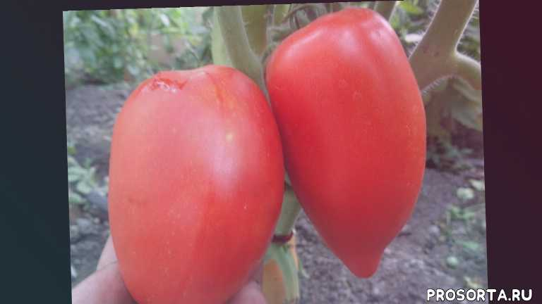 томат сибирская тройка, сибирские томаты, томаты в теплице, сад огород