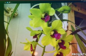 Орхидея ДЕНДРОФАЛЕНОПСИС. Уход в домашних условиях.