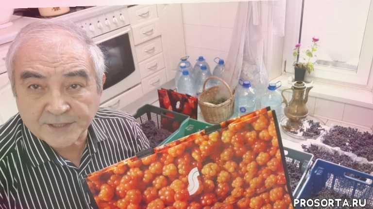 ягода, амурский виноград отзыв, виноград амурский описание, амурский виноград подмосковье, амурский прорыв, купить саженцы амурского винограда, купить плющ, живая изгородь