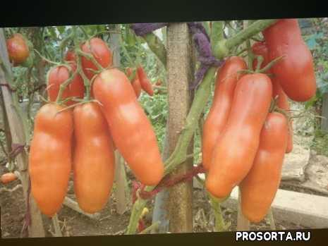 сад огород, самые урожайные томаты, томат казанова для консервирования, самый оригинальный томат, томаты сибирские, ольга чернова