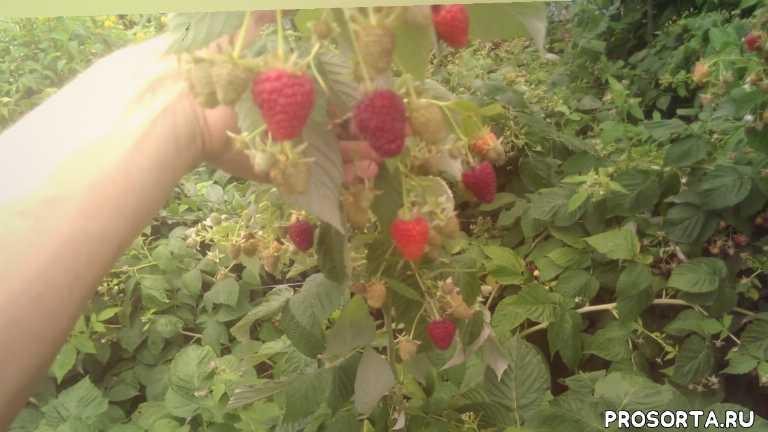малина сад огород садовоцтво практика обучение познавательное
