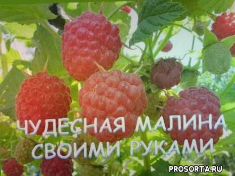 миняева, урожайный огород, огород, сад, дача, малина видео, огород где все растет, как сажать малину осенью