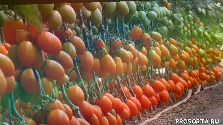вкусные грядки, огурец ks 90 f1, томат ks 21 f1, сливовидный томат, изумительный вкус, томат янтарный, 9 плодов на кисти, фантастическая урожайность