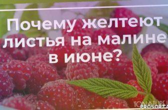 вредители малины, болезни малины, малина в июне, малина уход, условия для малины, выращивание малины, малина летом, малина