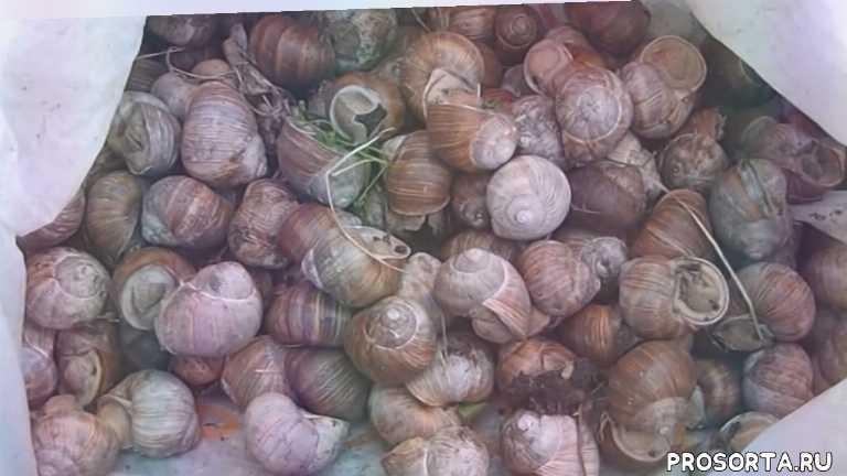 борьба с моллюсками, #моллюски, моллюски, как бороться с улитками, борьба с улитками, #слизни, #улитки, слизни
