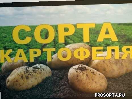 антошка антошка пойдем копать картошку, картофан, копаем картоху, картошка, картофель, черри, амандине, а так же виолет квин