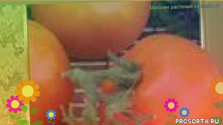 где купить семена томат обыкновенный андромеда золотая f1, купить семена томата андромеда золотая f1, семена томат обыкновенный андромеда золотая f1, видео томат обыкновенный андромеда золотая f1, томат обыкновенный андромеда золотая f1 описание характеристик, краткий обзор томат обыкновенный андромеда золотая f1, andromeda zolotaya f1, томат обыкновенный андромеда золотая f1 описание