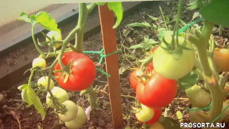 партнер, сорт, гибрид, огород, дача, семена, томат