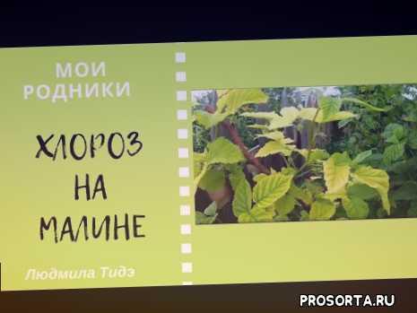 хлореллой опрыскать растение по листу, желтые листы малины с зелеными прожилками, хлороз малины