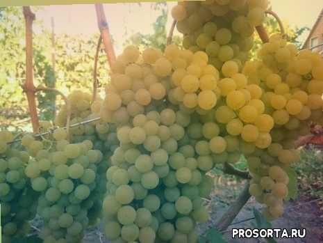 цитронный, вино, винний, технічний, цитронний магарача, виноград