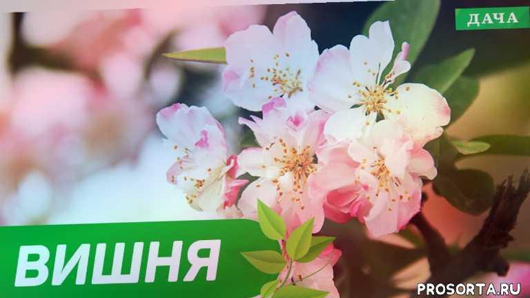 весенняя обрезка вишни, все о войлочной вишне, сажаем вишню правильно, уход за вишней летом, огород, сад город, сад своими руками, как посадить вишню