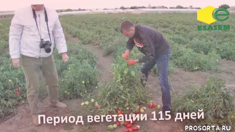 семена овощей, купить семена в украине, выращивание помидор, ыращивание томатов, семена оптом, семена помидор, семена томатов, семена