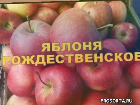 триплоидный сорт яблони, сорт рождественское, яблоня российской селекции, яблоня, агротехника, саженцы, подвои, черенки