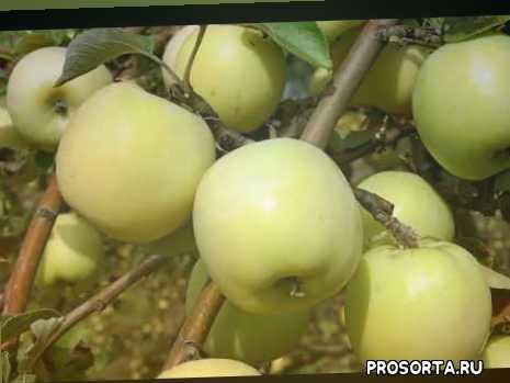 обрезкак яблони антоновки, как хранить антоновку, подкормка яблонь.чем подкормить яблоню, растояние посадки яблонь, уход за яблоней, описание сорта антоновка, яблоня антоновка