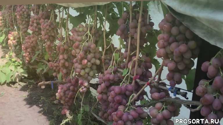 виноград дюжина, продажа черенков винограда, виноградник яремаки, продажа саженцев винограда, сорта винограда