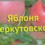 Яблоня. Краткий обзор, описание характеристик, где купить саженцы malus domestica Беркутовское