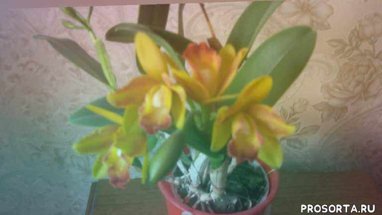 Цветение Каттлеи в домашних условиях!