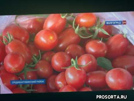 Большой урожай помидоров в Волгоградской области