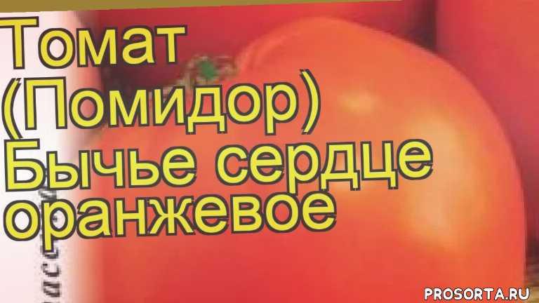 томат бычье сердце оранжевое посадка, томат бычье сердце оранжевое отзывы, где купить семена томат бычье сердце оранжевое, купить семена томата бычье сердце оранжевое, семена томат бычье сердце оранжевое, видео томат бычье сердце оранжевое, томат бычье сердце оранжевое описание характеристик, краткий обзор томат бычье сердце оранжевое