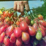 Лучшие сорта помидор без пасынкования для открытого грунта средней полосы России!