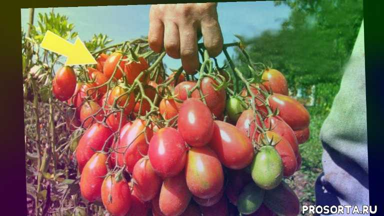 лучшие сорта помидор +для подмосковья, какие сорта помидор лучше, сорта томатов, лучшие сорта помидоров +для грунта, лучшие сорта помидор +для теплицы, лучшие сорта помидор, помидоры для средней полосы, помидор без пасынкования для открытого грунта