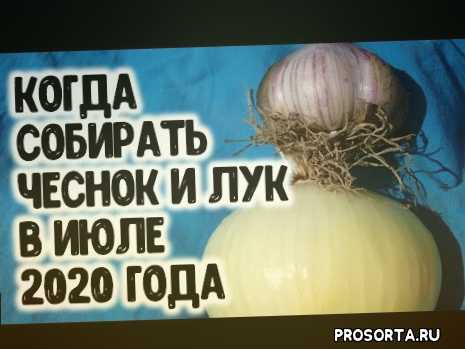 выращивание, как правильно, почему желтеет чеснок, луна, 2020, июль, лунный календарь на июль 2020, сад и огород