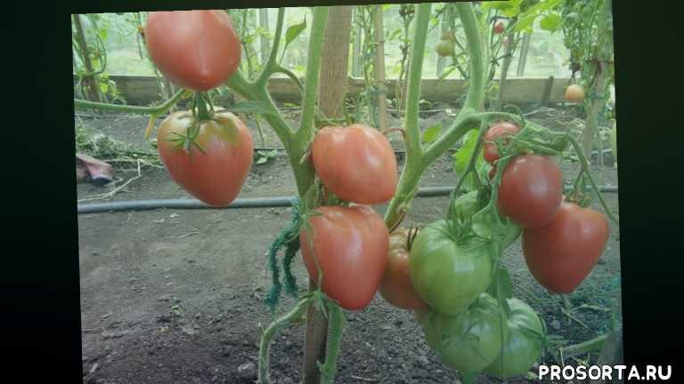 сорт розовый мед, самые сладкие томаты, томаты, сад огород