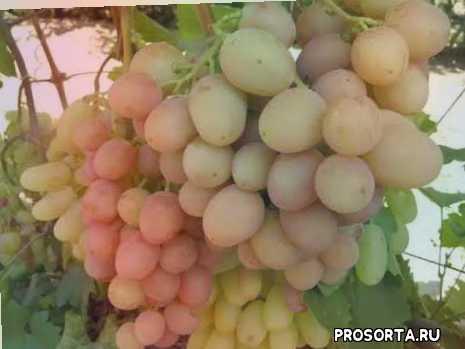 чем подкормить виноград, как поливать виноград, уход за виноградом, описание винограда гурман ранний, виноград гурман ранний
