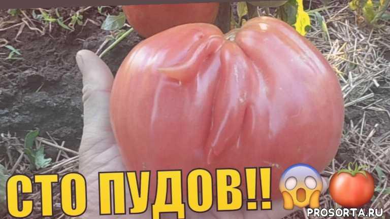 томат видео, сорт томатов сто пудов, томат описание, томат высокорослый, крупноплодные сорта томатов, урожайные томаты, томат сто пудов, томат характеристика
