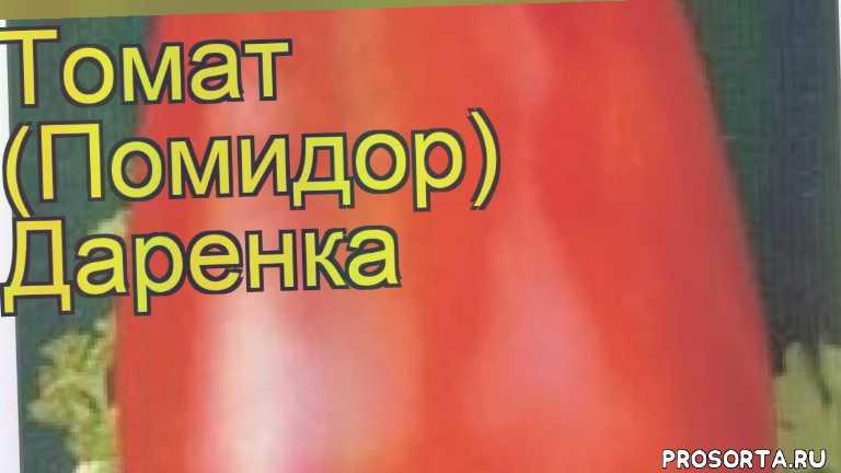 томат обыкновенный даренка посадка и уход, томат обыкновенный даренка уход, томат обыкновенный даренка посадка, томат обыкновенный даренка отзывы, где купить семена томат обыкновенный даренка, купить семена томата даренка, семена томат обыкновенный даренка, видео томат обыкновенный даренка