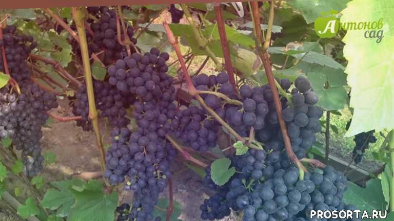 дача, огород, сад, виноградник, кишмиш, сорта винограда, виноград