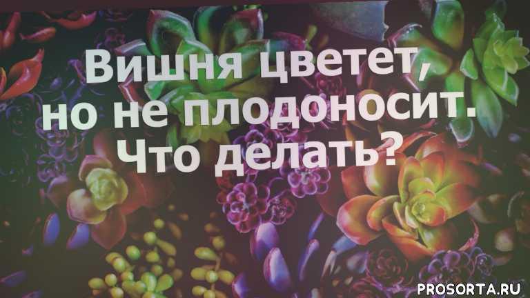 удобрение для вишни, подкормка вишни, цветение вишни, не плодоносит, вишня уход, вишня не плодоносит, выращивание вишни, вишня