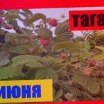 Хороший урожай малина таганка   на 8 июня