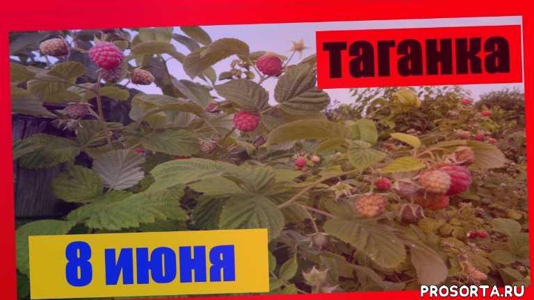хороший урожай малина таганка на 8 июня, ifhbq, шарий блог, шарий видео, шарий новое, шарий анатолий, анатолий шарий, шарий