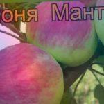 Яблоня канадская Мантет (malus mantet) ? яблоня Мантет обзор: как сажать саженцы яблони Мантет