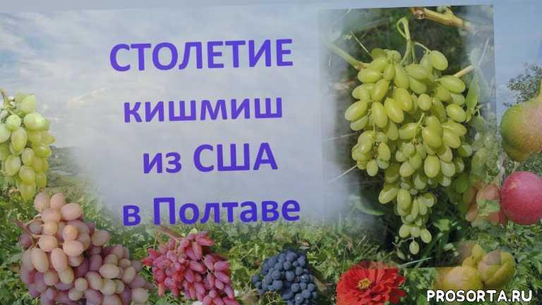 отзыв о винограде, вкусный виноград, хороший виноград, виноград кишмиш столетие, виноград кишмиш, бессемянный виноград, сорт винограда столетие, виноград столетие