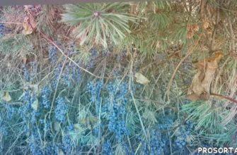 питомник княженики, ленивый сад, сад минимального ухода, самая вкусная ягода, черный смородина, черный ягода, вкусная ягода, семена амурского виноград