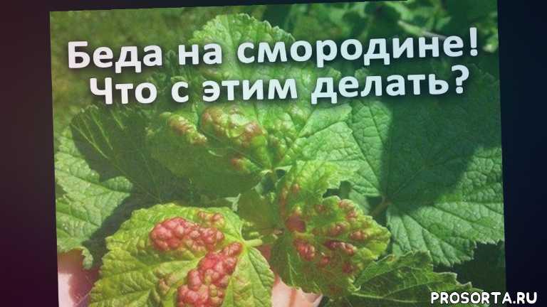 смородина уход весной, смородина заболевания, смородина, листья желтеют на смородине, чем болеет смородина, как понять что на смородине, клещ или ржавчина, клещ на смородине чем обработать