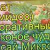 видео томат декоративный балконое чудо бонсай микро f1, томат декоративный балконое чудо бонсай микро f1 описание характеристик, краткий обзор томат декоративный балконое чудо бонсай микро f1, solanum lycopersicum balkonoe chudo bonsaj mikro f1, solanum lycopersicum, томат декоративный балконое чудо бонсай микро f1 описание, обзор томат декоративный балконое чудо бонсай микро f1, томат декоративный балконое чудо бонсай микро f1