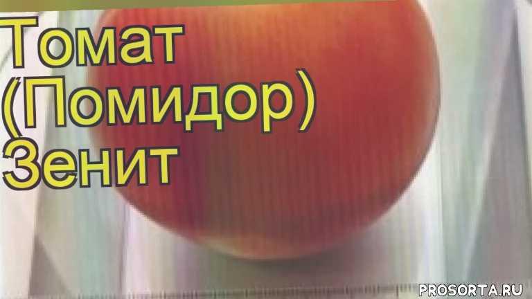 томат обыкновенный зенит посадка и уход, томат обыкновенный зенит уход, томат обыкновенный зенит посадка, томат обыкновенный зенит отзывы, где купить семена томат обыкновенный зенит, купить семена томата зенит, семена томат обыкновенный зенит, видео томат обыкновенный зенит