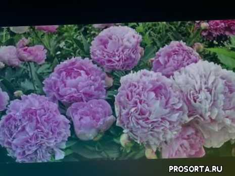 болезни, цветы, уход, пионы