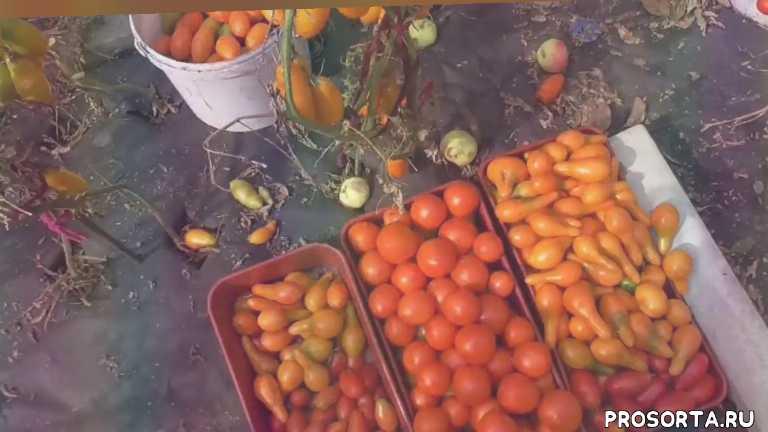 обзор томата, перцевидный желтый, томаты, огородная азбука, ольга чернова