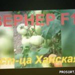 Томат Вернер F1 - прекрасные результаты в пленочных теплицах Краснодарского края!