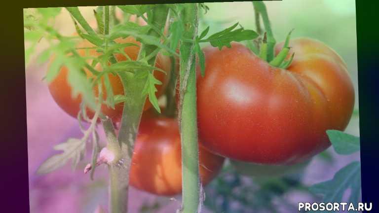 описание сорта, барон солемахер томат отзывы, ассистент по растительному миру, томаты в теплице, низкорослые томаты, барон солемахер томат