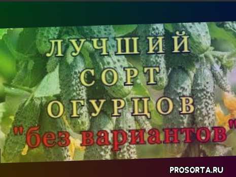 партенокарпические огурцы, беттина ф1, бэттина ф1, бэтина ф1, бэтина, бэттина, бизнес, бизнес на огороде
