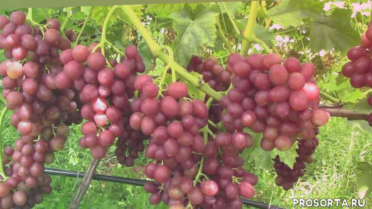 Виноград ВелесЛивия 2019